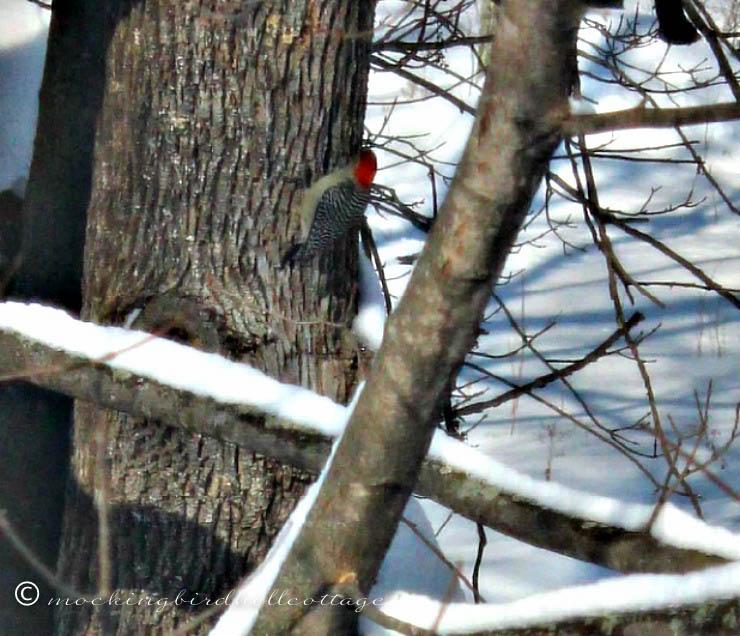 woodpeckerontree