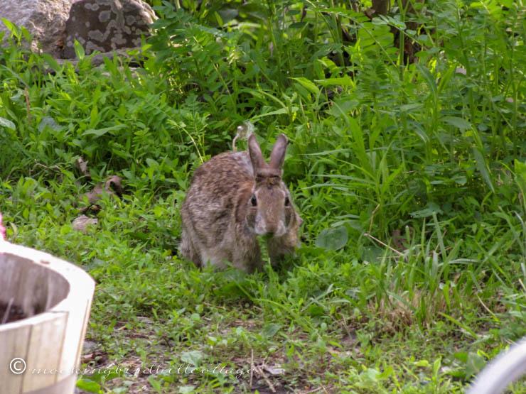 bunny-dining