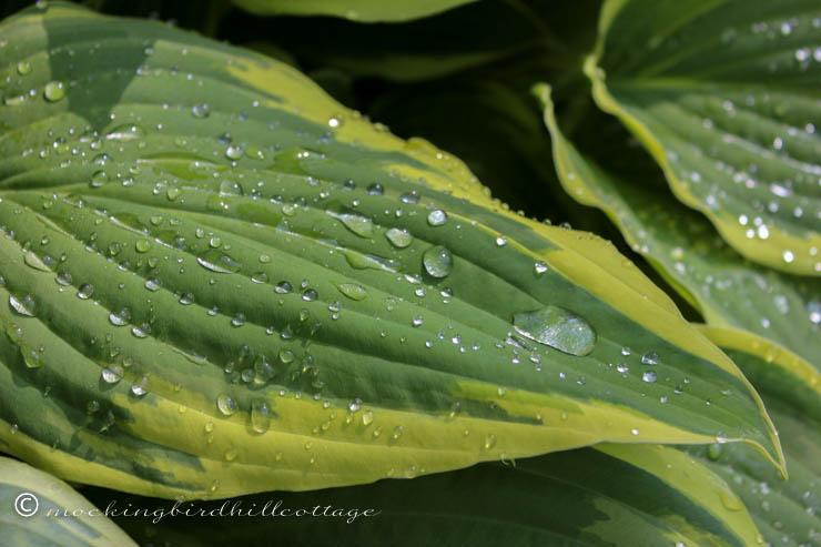 waterdropsonhosta