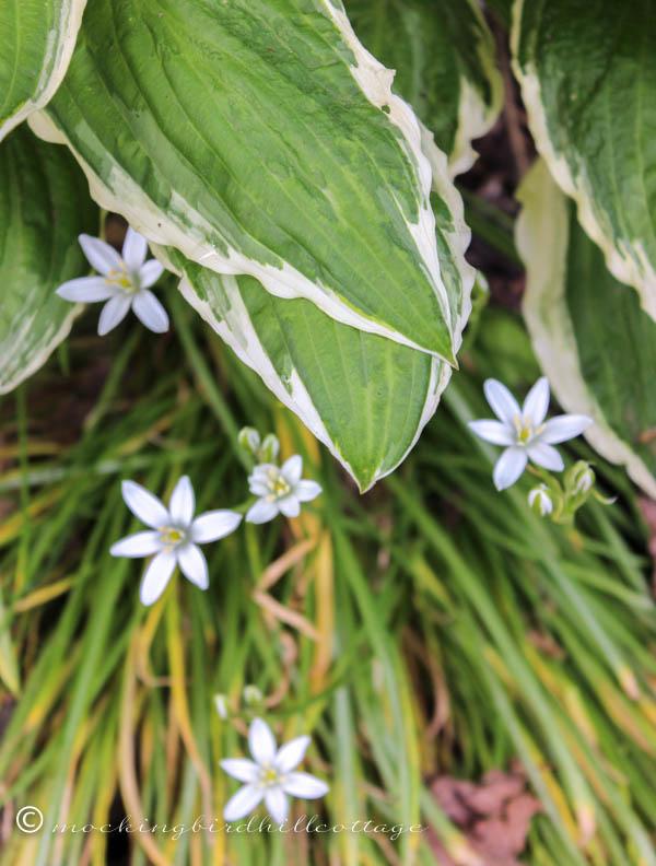 white flowers under hosta