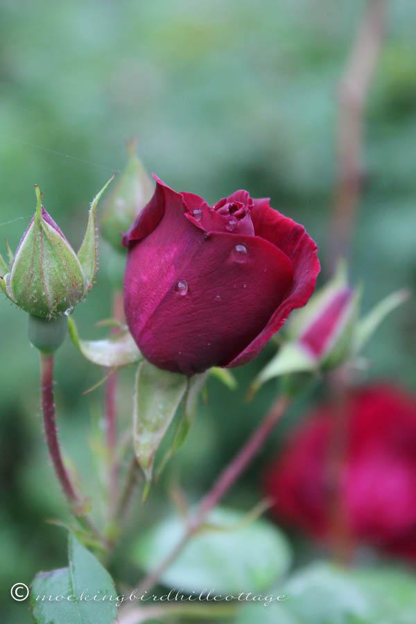 Sunday Cottage rose2