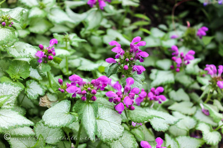 blooming ground cover