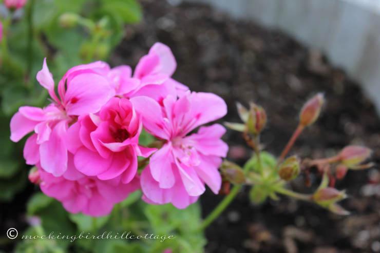 funky-patio-geranium