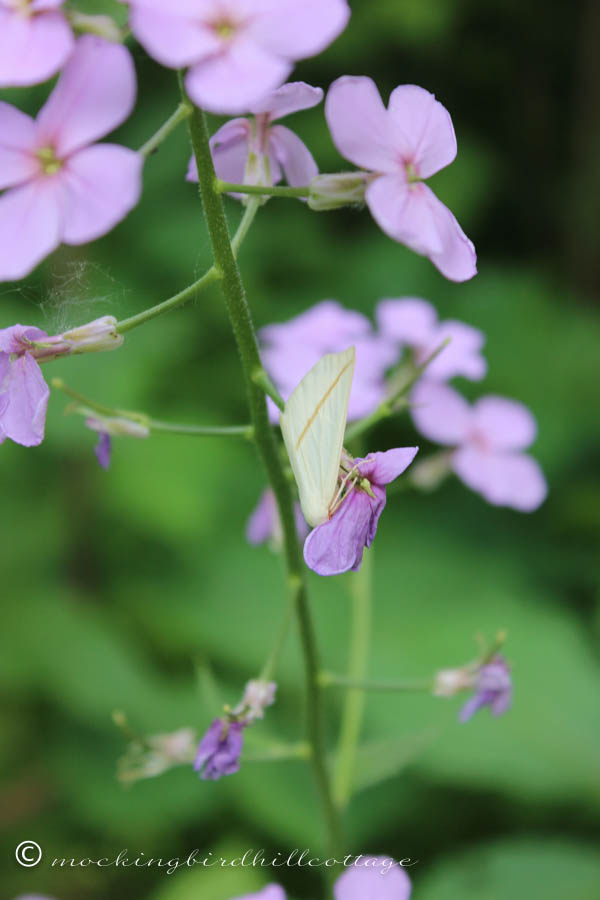 moth on wild rocket