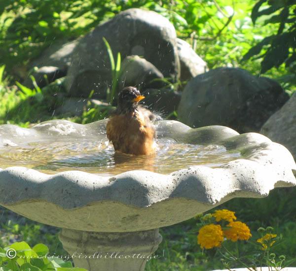 robin-in-birdbath-up-close