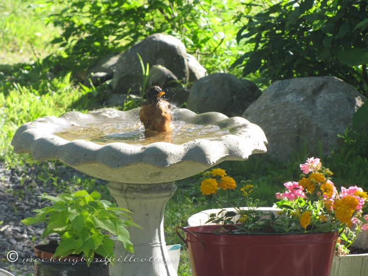 robin-in-birdbath