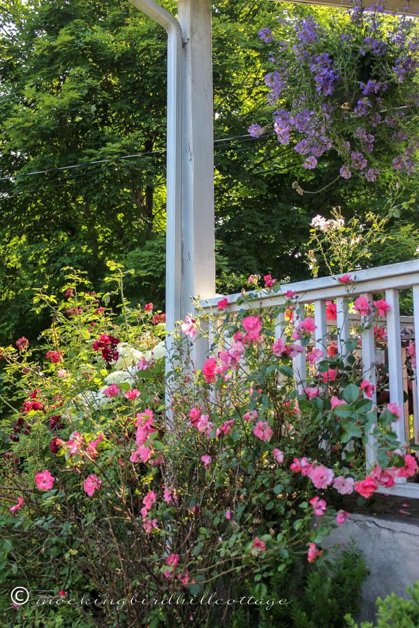 LadyElsieMay-roses