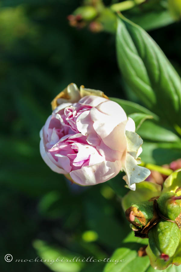 Where did this peony come from?