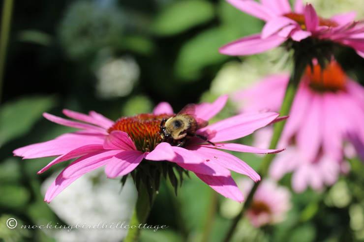 bee on coneflower 3