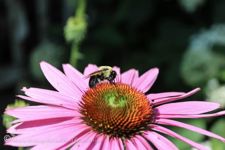bee on coneflower1