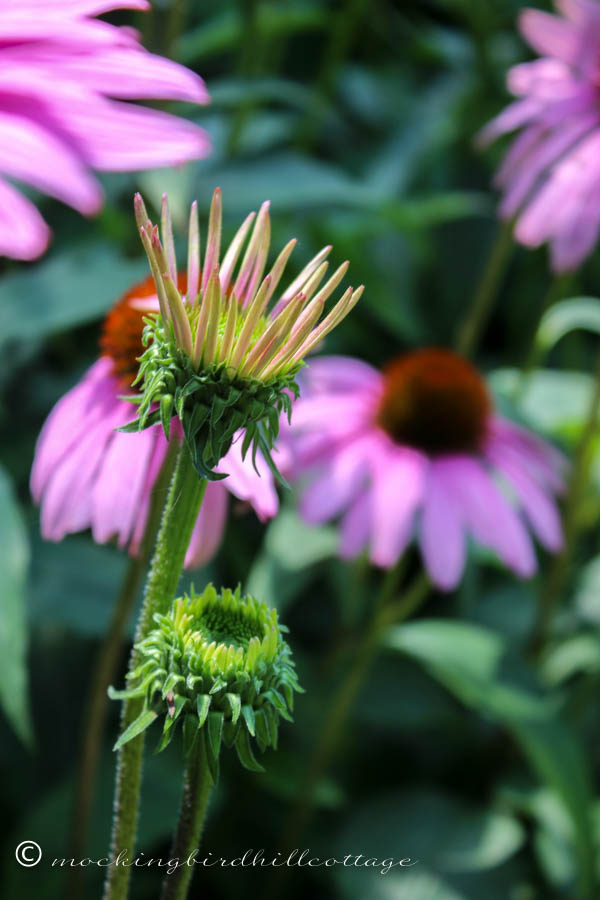 coneflower beginning