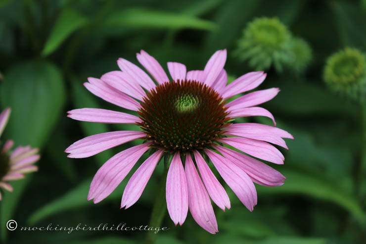 coneflower on friday