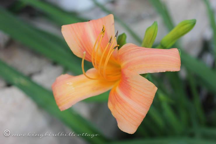 daylily on friday