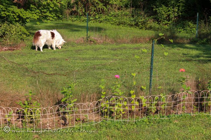 saturday - chicken wire fence garden