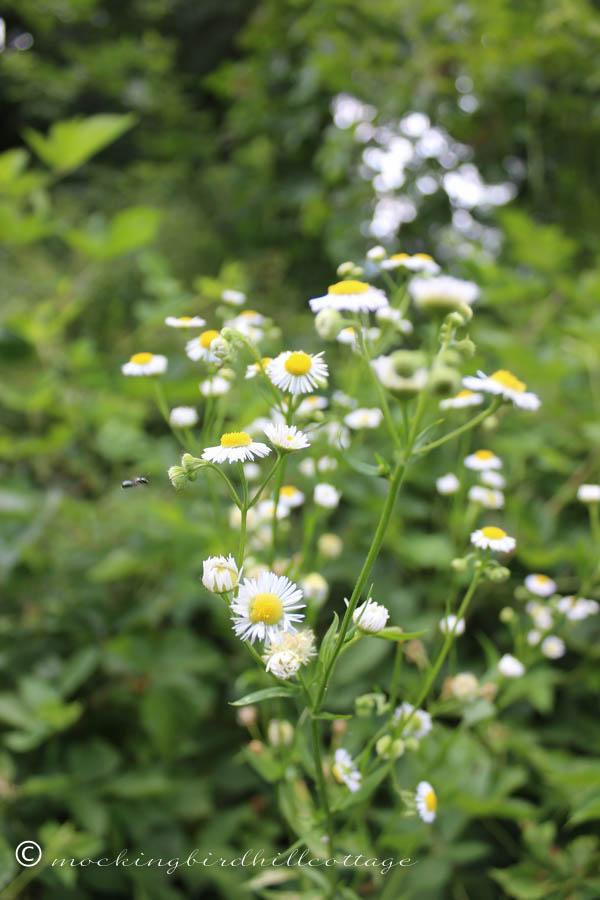 saturday-wild sort of daisies