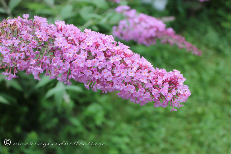 W - butterfly bush blossoms