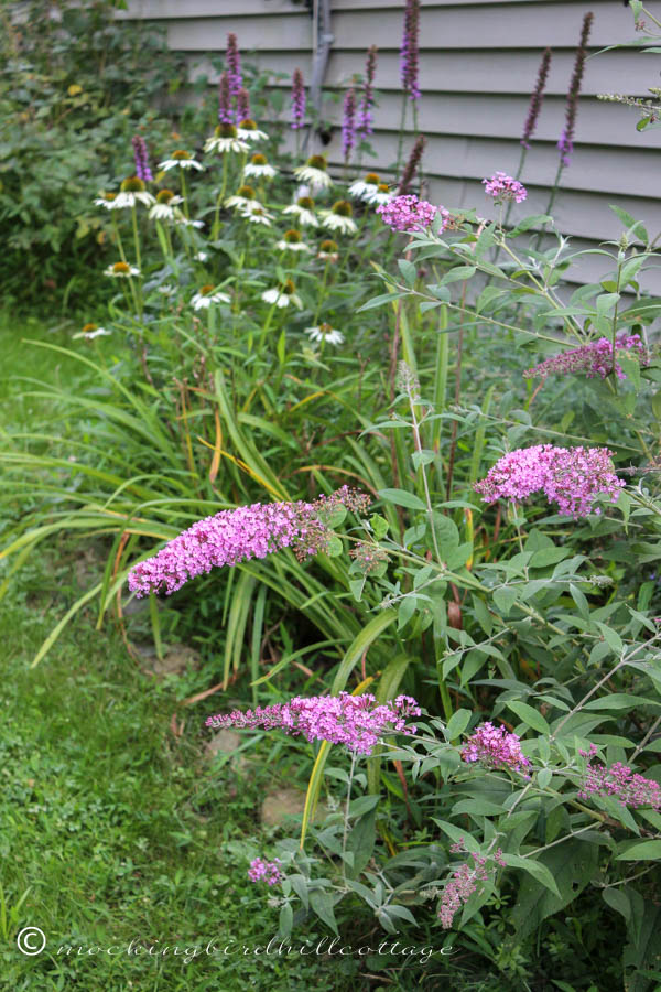 W - butterfly bush & white coneflowers