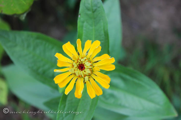 Wed - yellow zinnia
