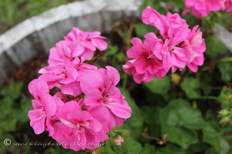 geraniums up close