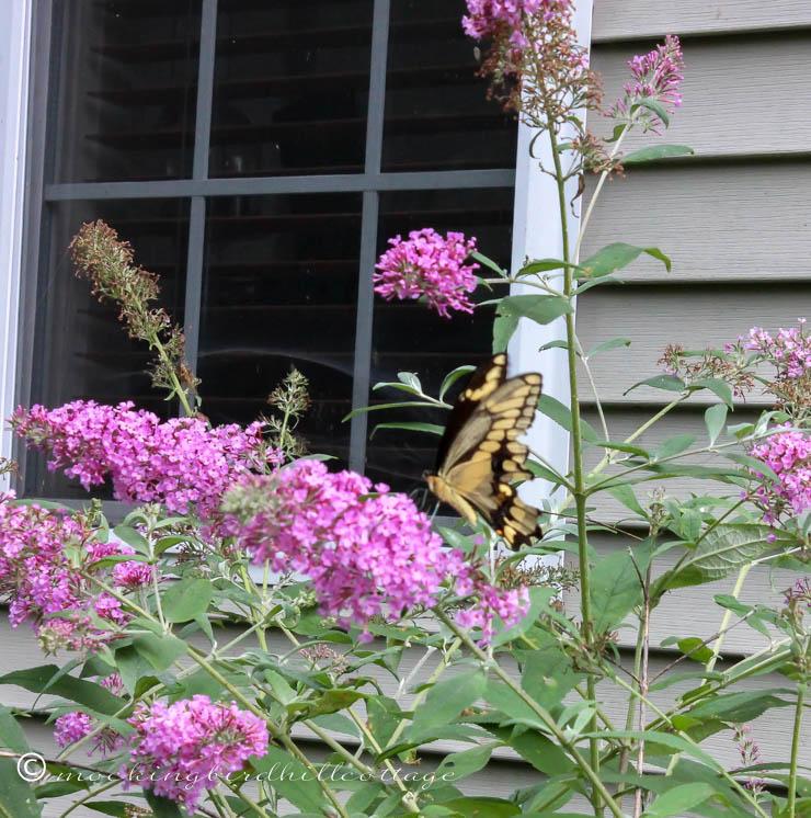 giantswallowtail 2