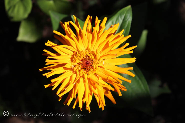 golden zinnia