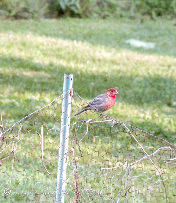 house finch on fence2
