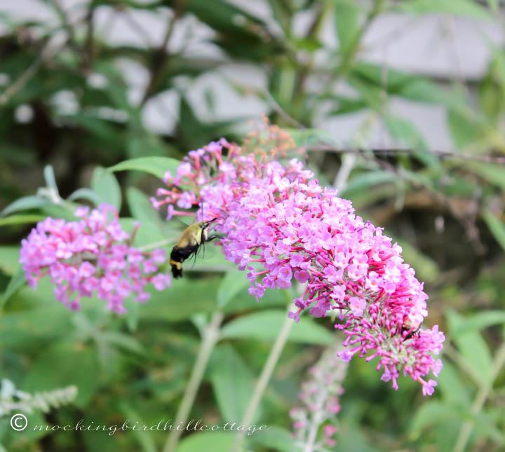 hummingbirdmoth 1