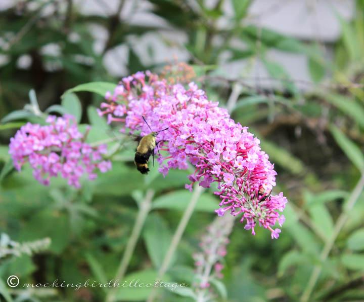 hummingbirdmoth 2
