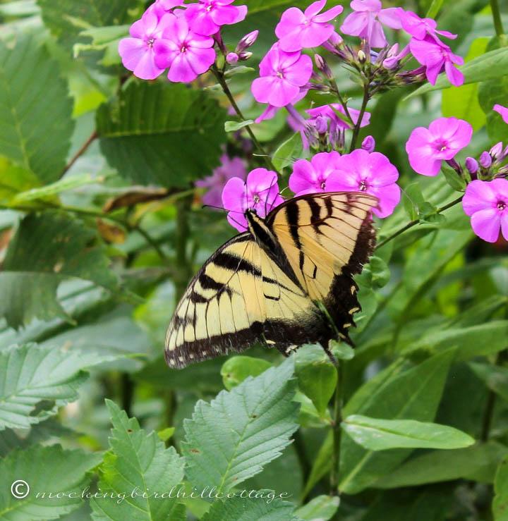 swallowtail full