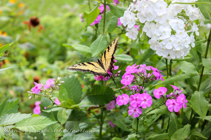 swallowtail two