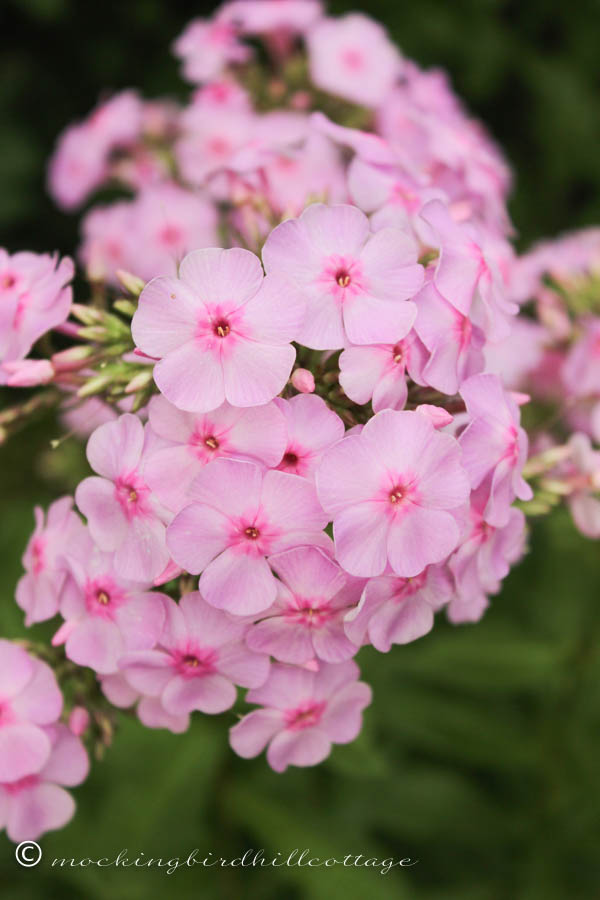 thursday pink phlox