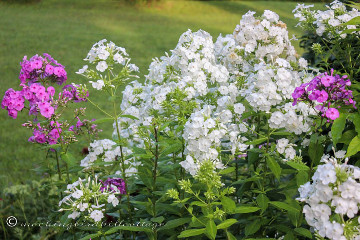 tuesday - group of phlox