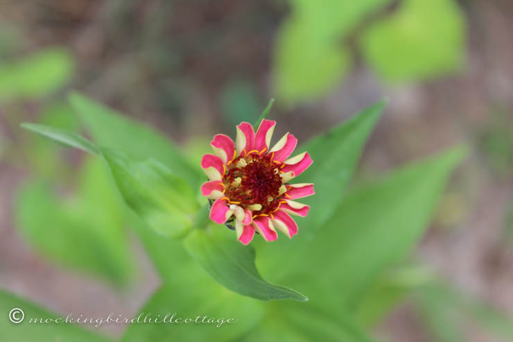 tuesday zinnia 1