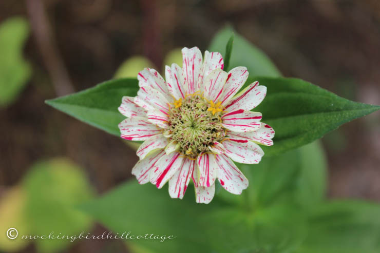 tuesday zinnia 2