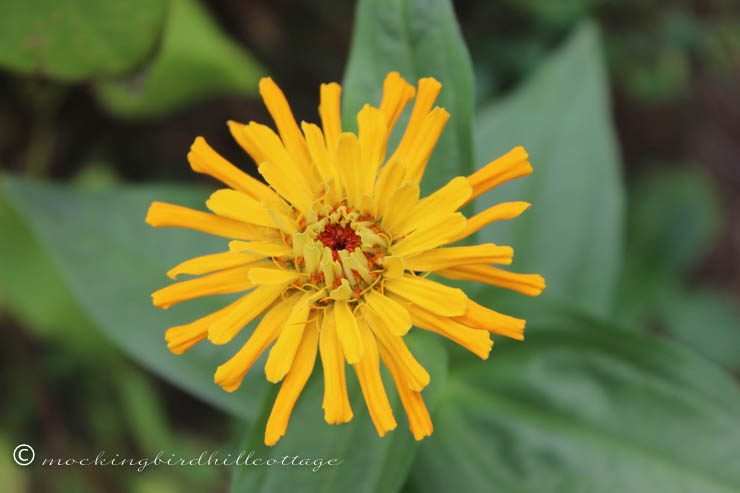 tuesday zinnia 3