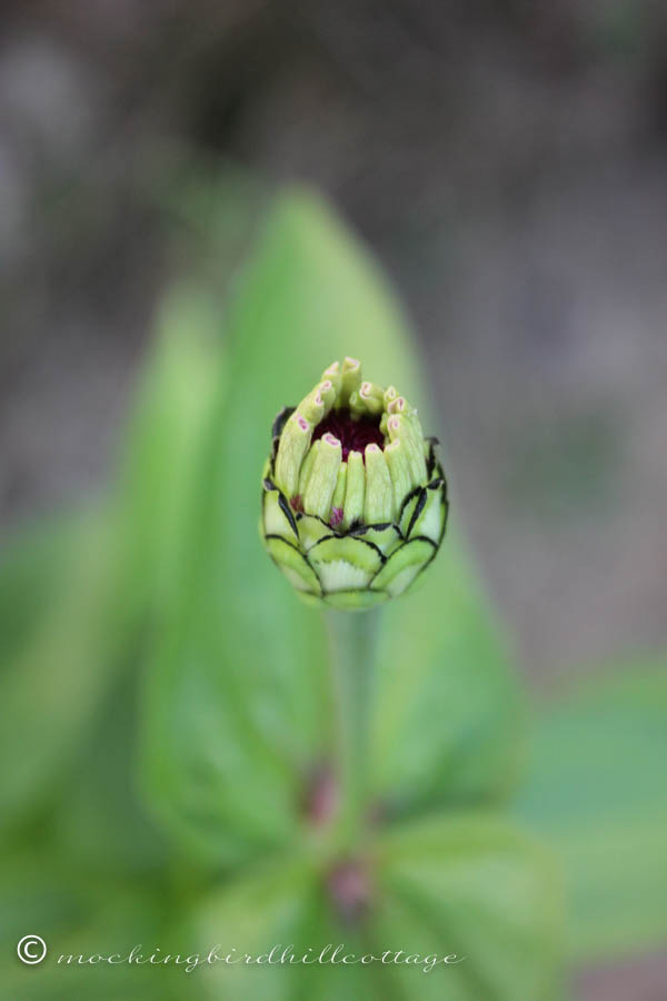 tuesday - zinnia bud