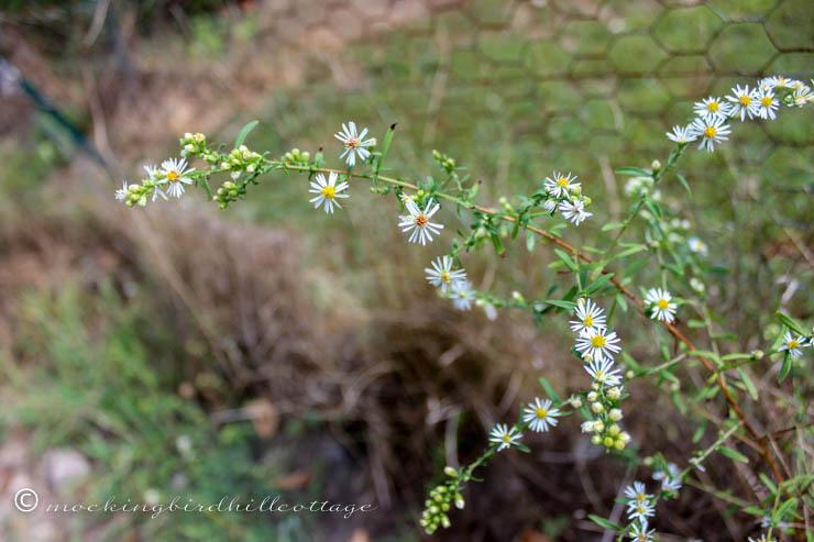 aster-like weed
