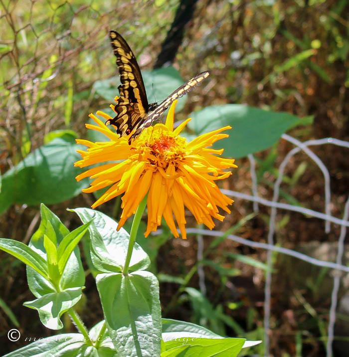 monday giant swallowtail 3