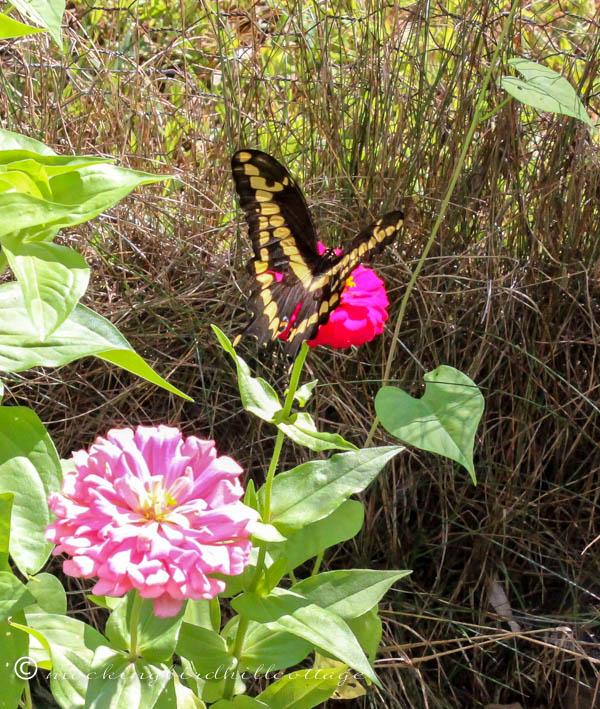 monday giant swallowtail 4
