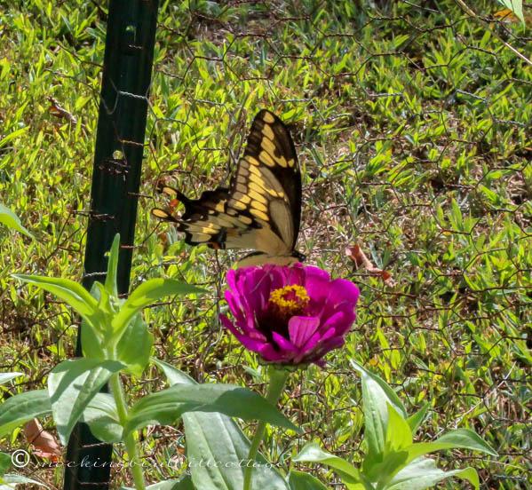 monday giant swallowtail 5