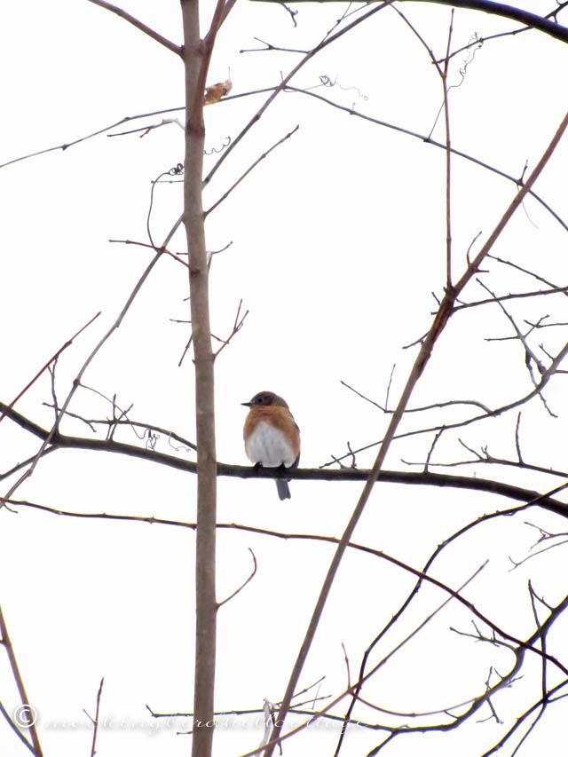 2-5 bluebird