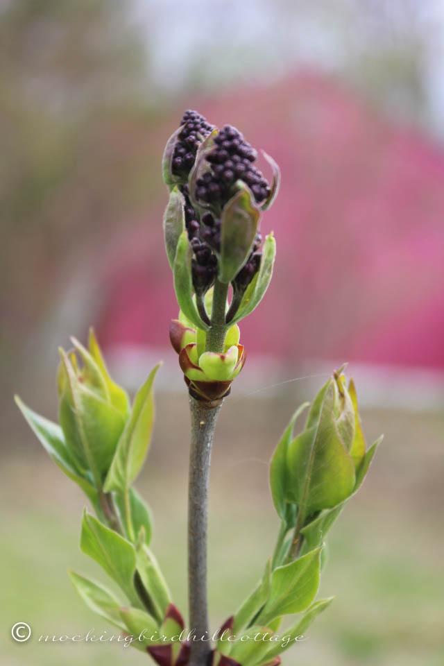 4-28 lilac 1