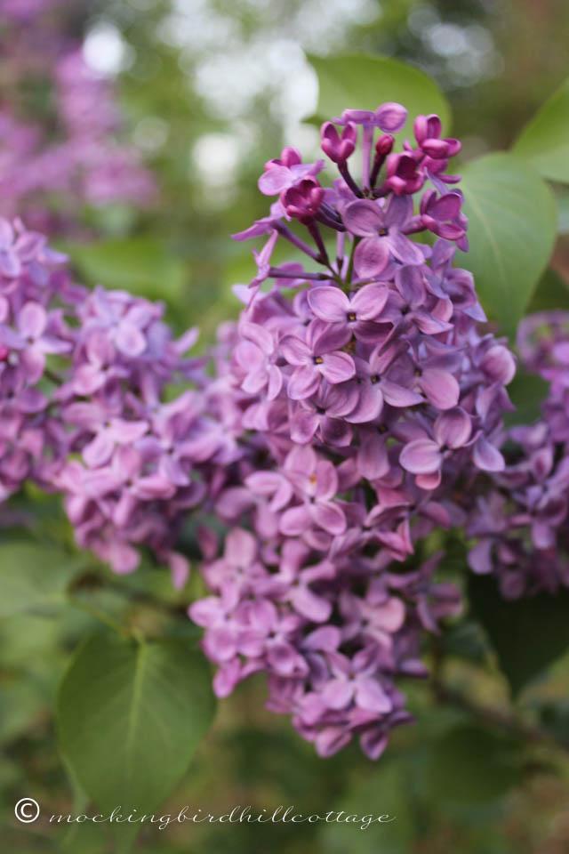 5-12 lilacs 1
