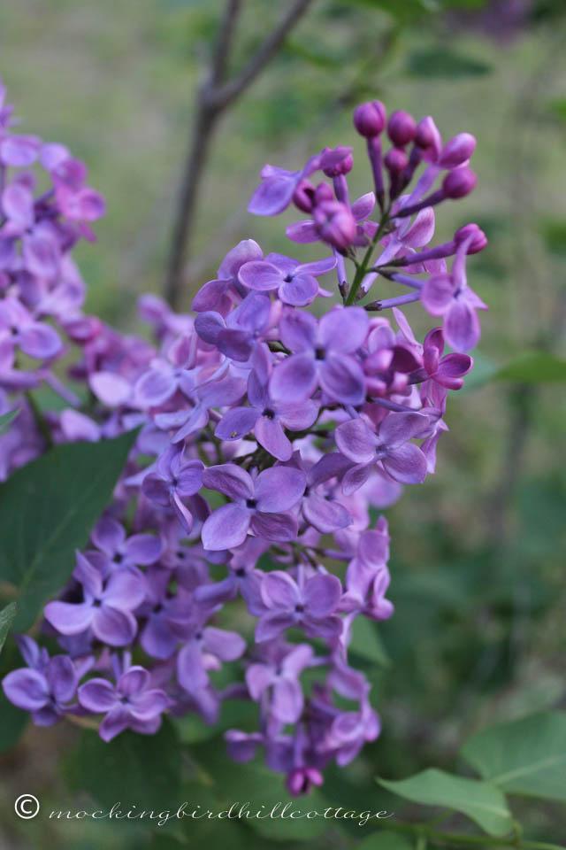 5-12 lilacs 2