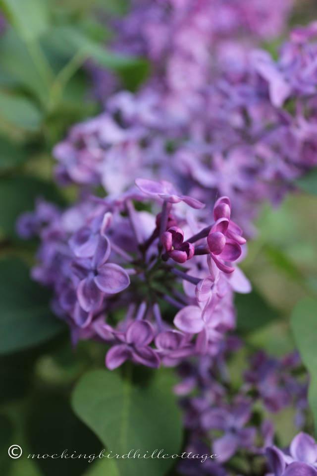 5-12 lilacs 4