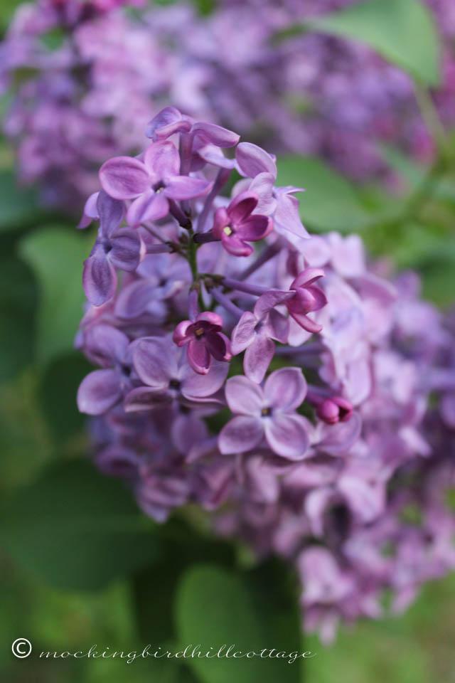 5-12 lilacs 5