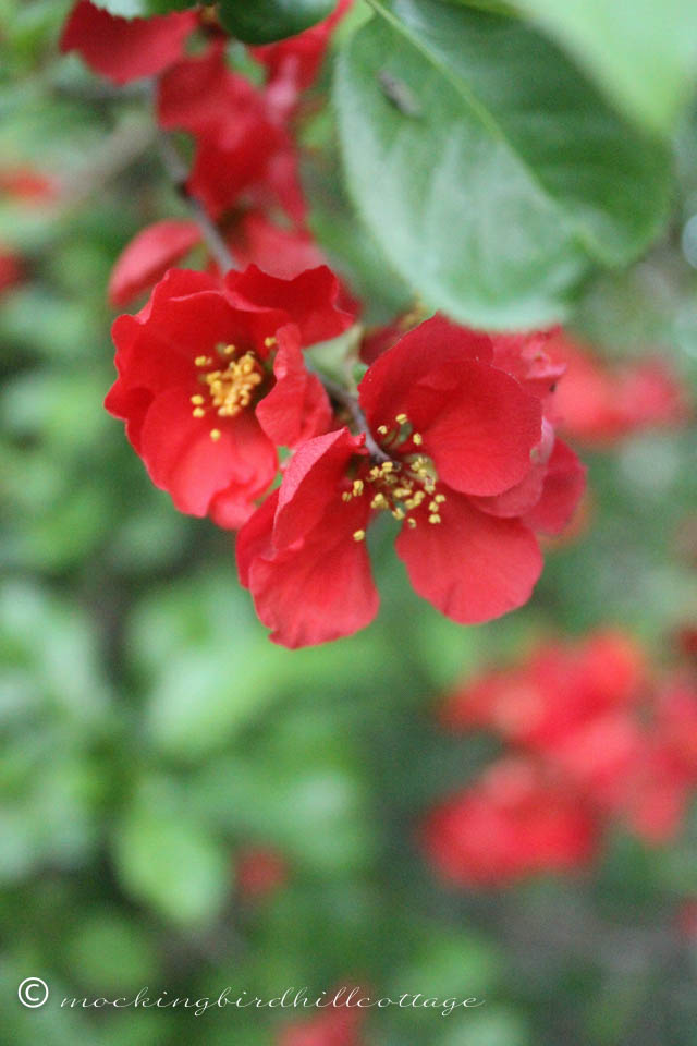 5-13 flowering quince 2
