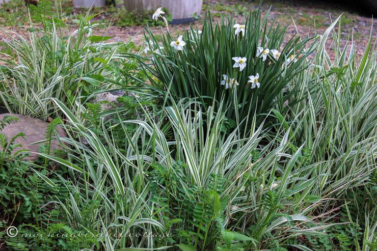 5-14 grassesvetch&daffs