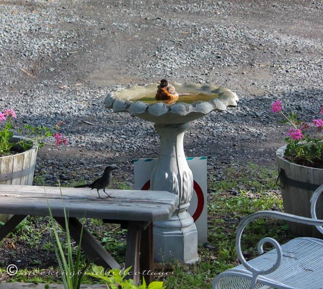 5-20 robin & catbird