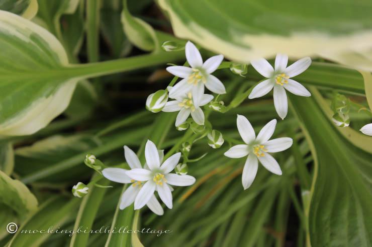 5-21 little white flowers